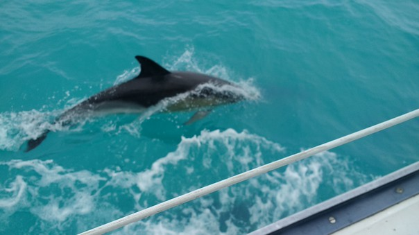 dolphins in Bristol Channel